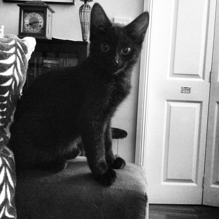 Oswald's first day in his new home.  He had a little white brother but we felt black cats often never adopted.  We fell in love with him.  He's now nearly two and as big as a Panther!