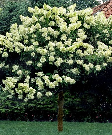 Limelight Hydrangea Tree...how fabulous to have this in the White Garden.!