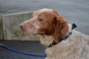 PILOU épagneul breton mâle 8 ans