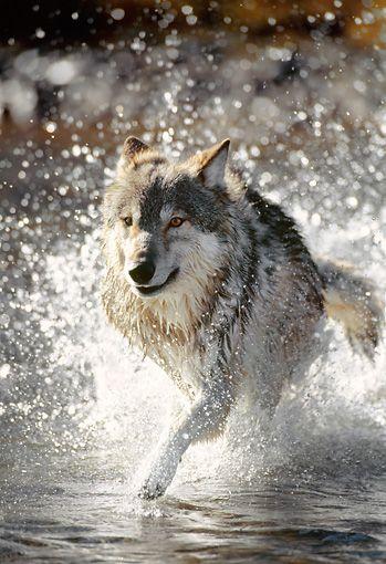 Gray Wolf Running Through Water by Daniel J. Cox
