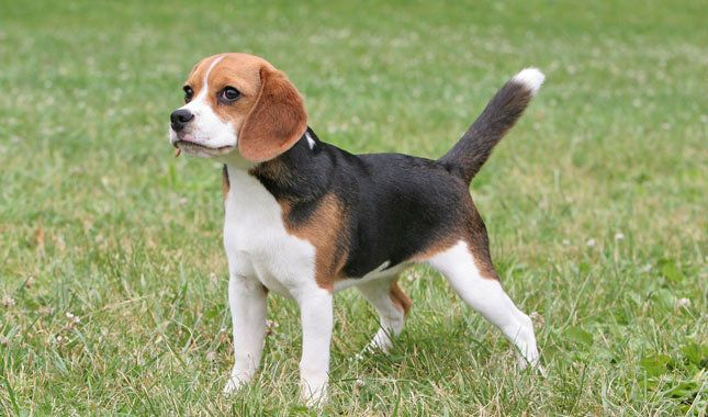 Beagle Breed Information
