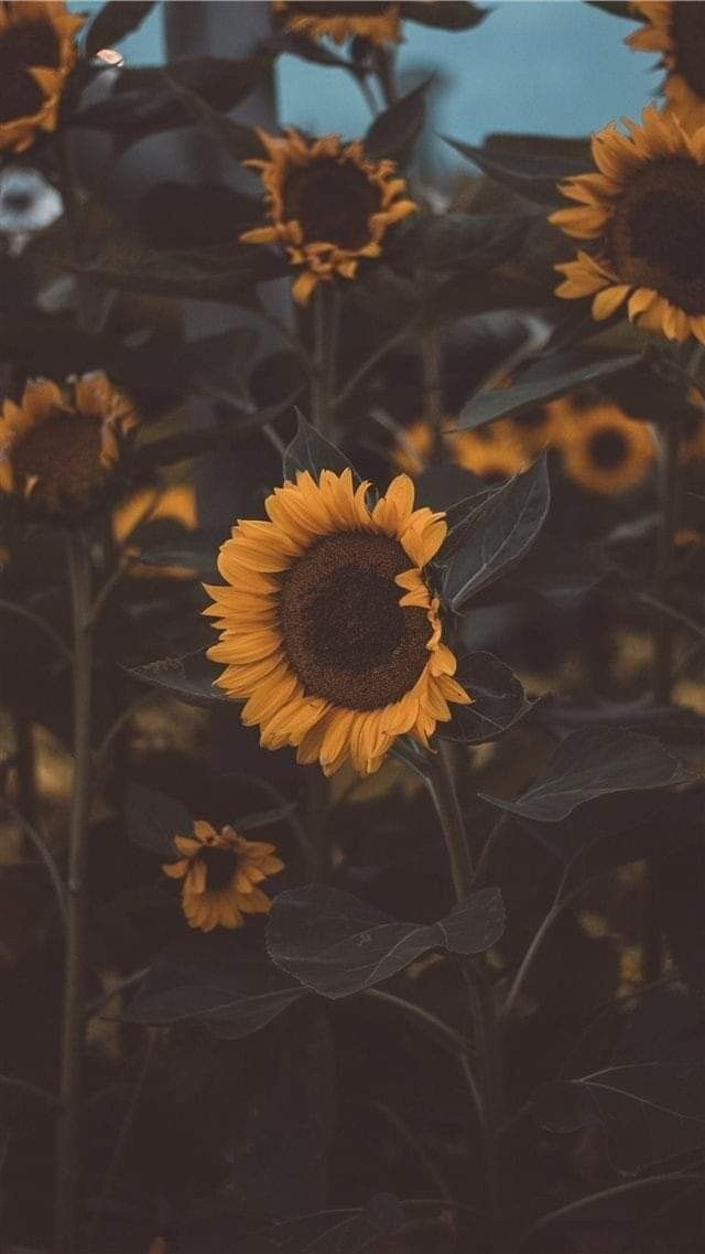 Pin by loretoandoybullecer on sunflower aesthetic in 2020 ...
