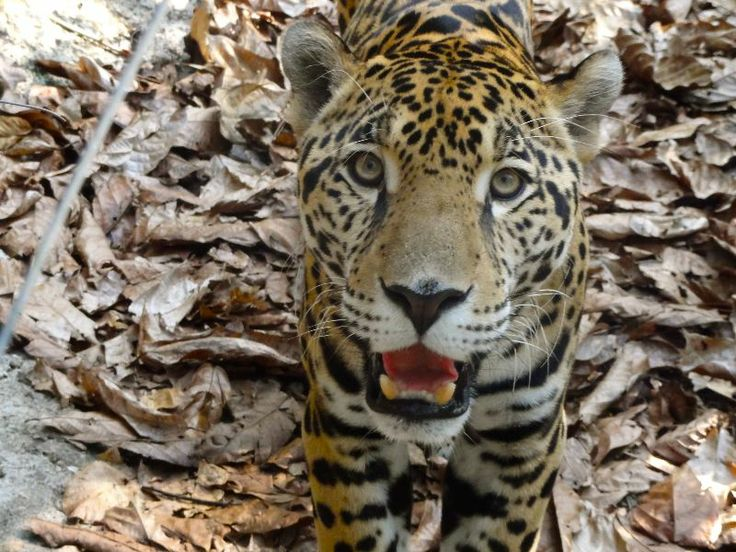 Caribbean Animals: 17 Best Images About Central American & The Caribbean On