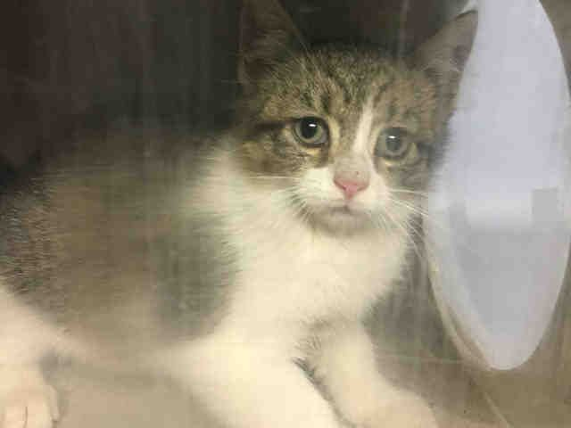 BAMBOO - A1098028 - - Brooklyn  Please Share:*** TO BE DESTROYED 12/02/16 *** -  Click for info & Current Status: http://nyccats.urgentpodr.org/bamboo-a1098028/