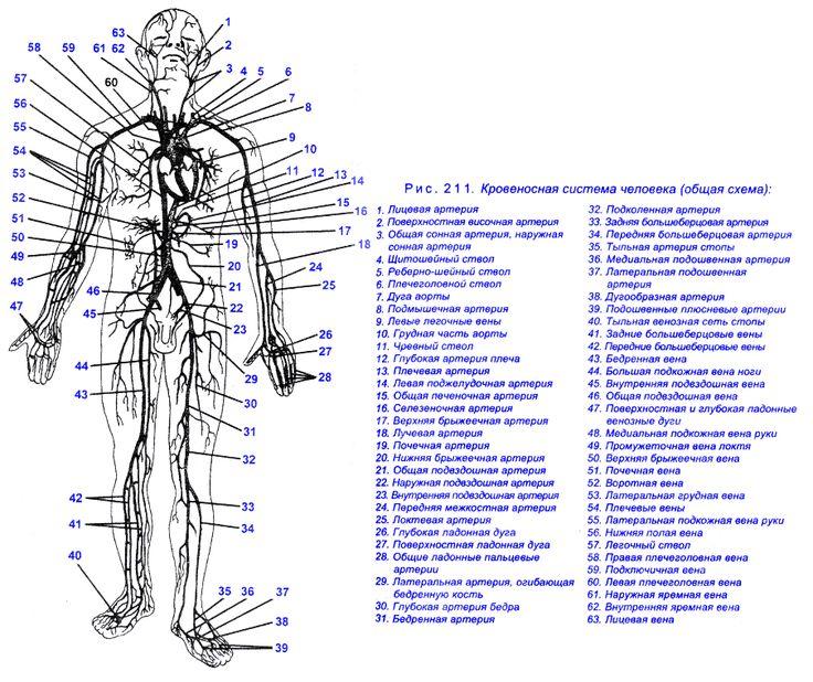 Рис. 211. Кровеносная система человека