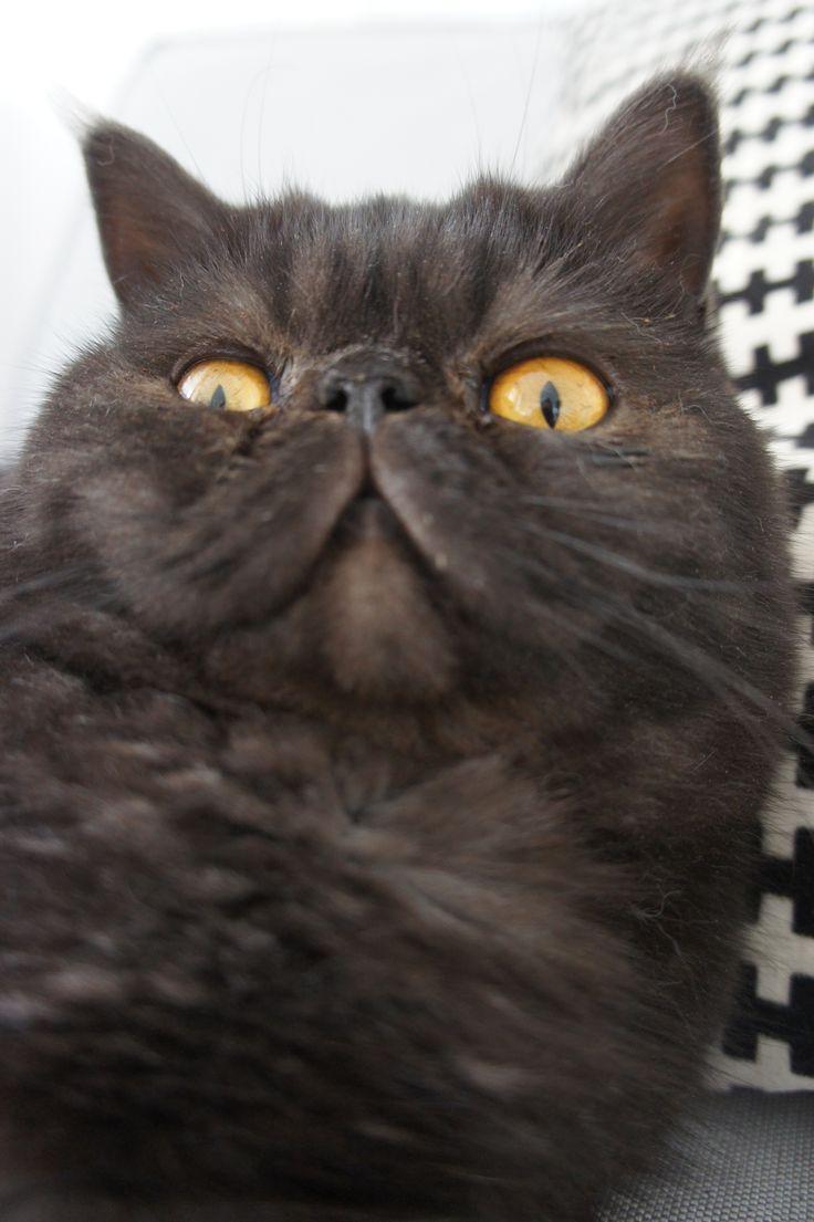 #cat #exotic shorthair