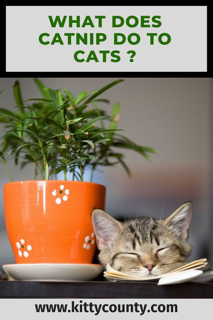 What Does Catnip Do To Cats You Will Be Surprised In 2020 Catnip Cat Care Tips Cat Diet