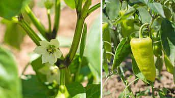 Starostlivosť o papriku v júni: Doprajte jej vlahu a správne živiny