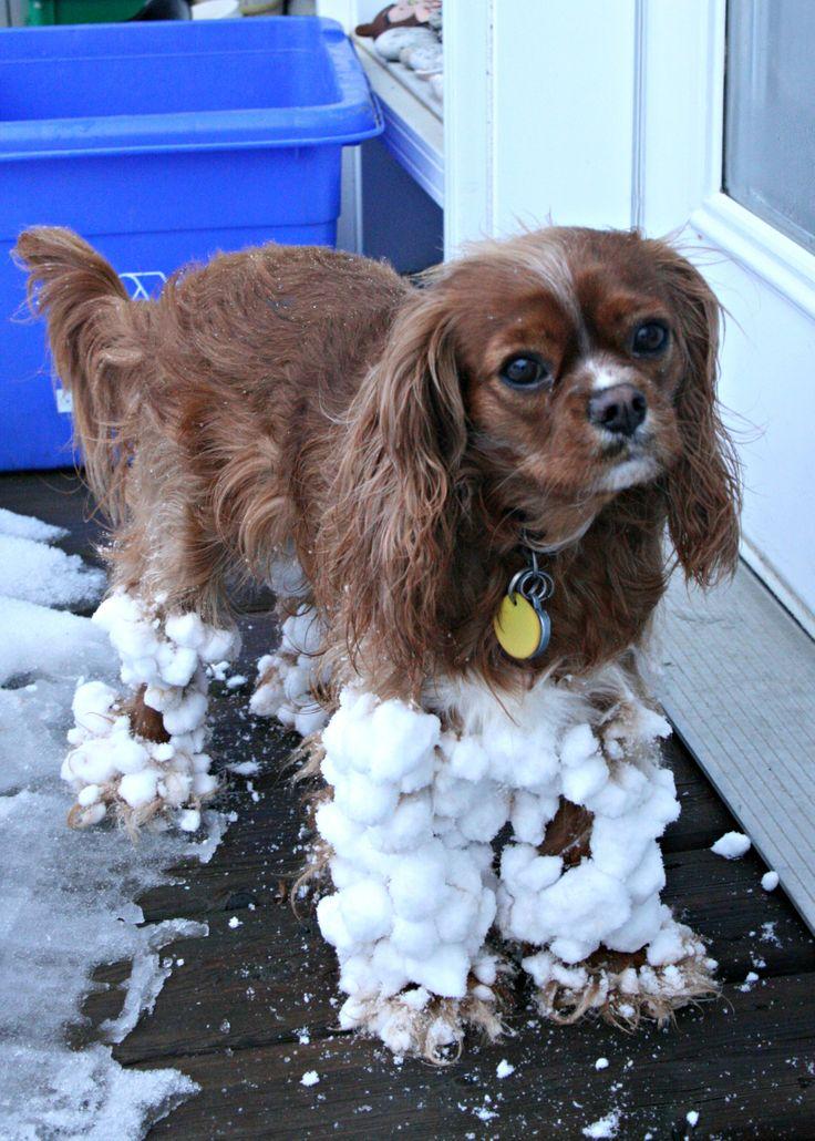 snow dog Cavalier King Charles Spaniel