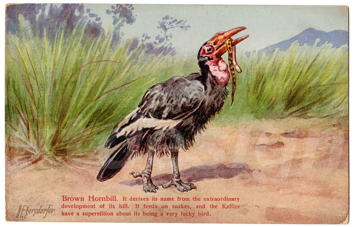 Brown Hornbill. It derives its name from the extraordinary development of its bill. It feeds on snakes, and the Kaffirs have a superstition about if being a very lucky bird. Vintage postcard from the Animal Series V, 3.