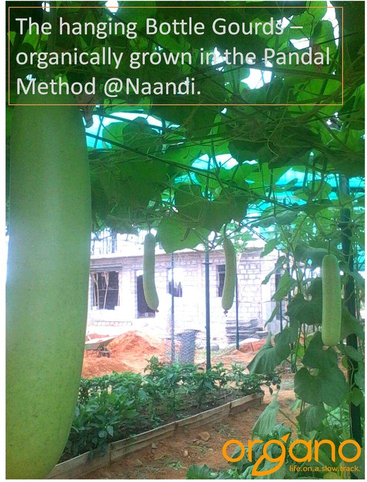 Hanging Bottle Gourds at Naandi's farm