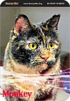 tama, IA - Domestic Shorthair. Meet Monkey, a cat for adoption. http://www.adoptapet.com/pet/17761641-tama-iowa-cat