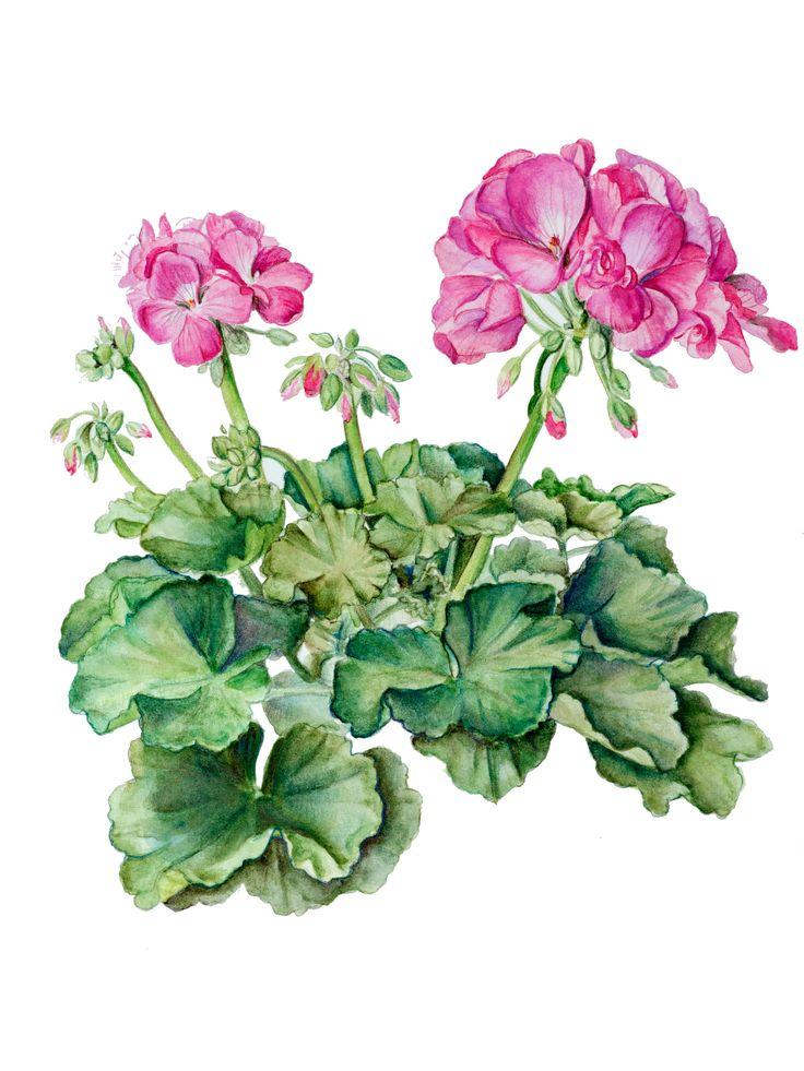 geranium flower drawing - photo #7