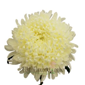 FiftyFlowers.com - White Football Mum Flower. Centerpiece 1 large vase