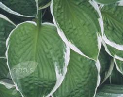Buy plantain lily Hosta 'Francee (fortunei)': Delivery by Crocus.co.uk