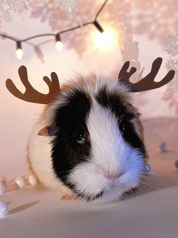 "Reindeer-Pig!!! i'M DYING from how CUTE this is.  But the guinea pig is thinking ""how much longer do I have to put up with this"""