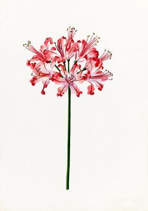 Lilian Snelling -- Nerine 'Mrs Balfour' -- Lilian Snelling -- Artists -- RHS Prints