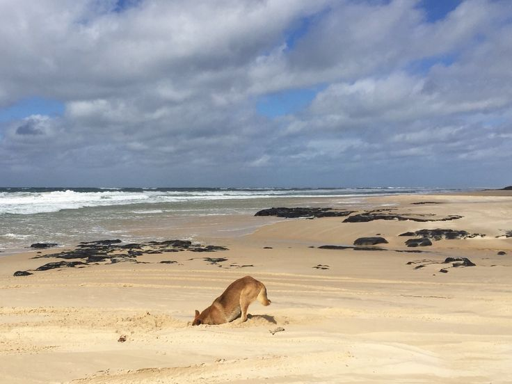 Dingo practicing his downward dog in Australia on Fraser Island, the worlds largest sand island.