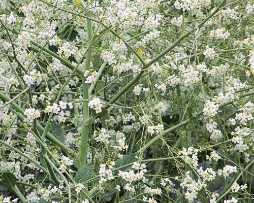 Málo známá dekorativní trvalka, je oblíbená především v Anglii. Dorůstá do výšky 140 - 160 cm. Kvete bíle, a to od června do července. Jedná se o extra silnou rostlinu. Je mrazuodolná. 199,- Kč