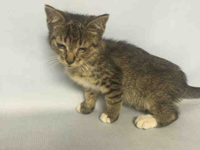 NATI - A1092477 - - Brooklyn  *** TO BE DESTROYED 10/16/16 *** A SECOND CHANCE TONIGHT FOR NATI BUT NOW SHE IS JOINED TONIGHT WITH 2 MORE KITTEN FRIENDS – JUANCHO AND SHIRLEY!! LOOK AT THESE LITTLE KITTENS!! Just looking to be loved!!…NATI is 9 weeks old but she is under the 2 lb weight limit for public adoption. So she needs to be pulled by a New Hope rescue. JUANCHO and SHIRLEY are on the public adoption site because they are a tad older. Both JUANCHO and SHIR