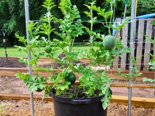 Cómo cultivar sandías en macetas y espalderas. Guía básica del cultivo de la sandía... #Huertaenmacetas