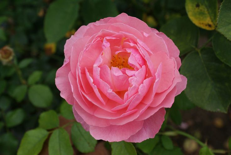 Club Camif | The fragrant, glowing pink blooms open into a full cup shape and appear continuously on the arching canes of this superb multipurpose shrub or climbing rose.