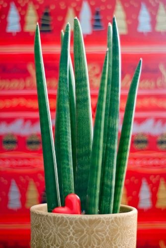 Resistente e tolerante à estiagem, a lança de São Jorge (Sansevieria cylindrica) vai bem em interiores. A variedade pode ser plantada sob sol pleno, meia sombra ou luz difusa, em solo bem drenável, enriquecido com matéria orgânica e irrigado moderadamente.  Fotografia: Getty Images.