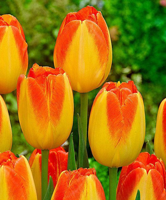 Triumph tulpen 'Prinz Armin'  Een bijzondere tulp met prachtige grote bloemen! Deze schitterende tulpen passen in elke tuin border en grote bloembak of -pot op het terras of balkon! Plant meerdere groepen voor het mooiste herhalende kleureffect in de tuin. Dat wordt genieten komend voorjaar! Bestel nu deze fantastische tulpen!  EUR 7.95  Meer informatie