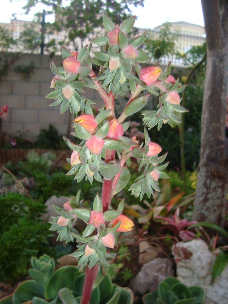 Flor de echeveria mandala