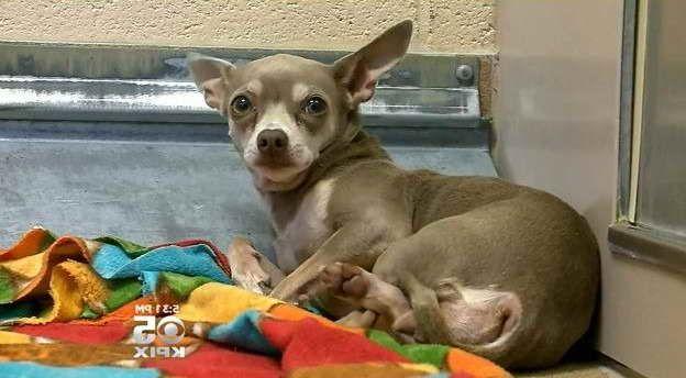 Atlanta Chihuahua Rescue Chihuahua Rescue Chihuahua Chihuahua Dogs