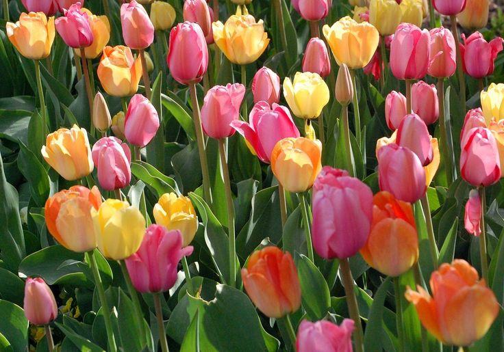 Norsk- tulip Latinsk- tulipa