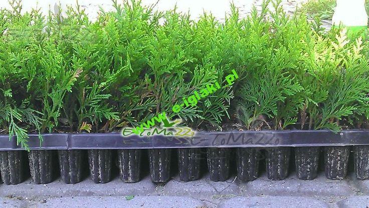 thuja smaragd tuja tuje szmaragd sadzonki 15cm multiplata tuje drzewa krzewy ro liny. Black Bedroom Furniture Sets. Home Design Ideas