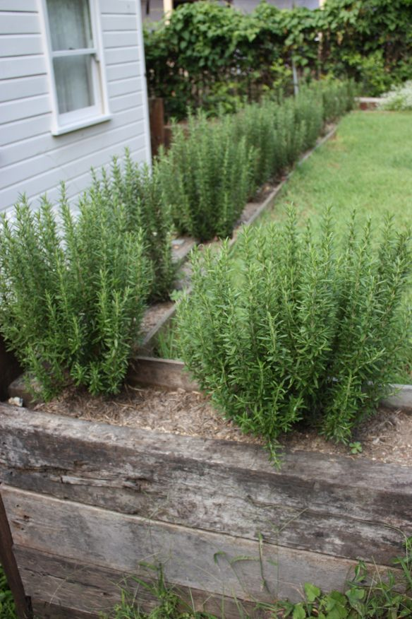Rosemary Hedge ~ I did this around my deck too!