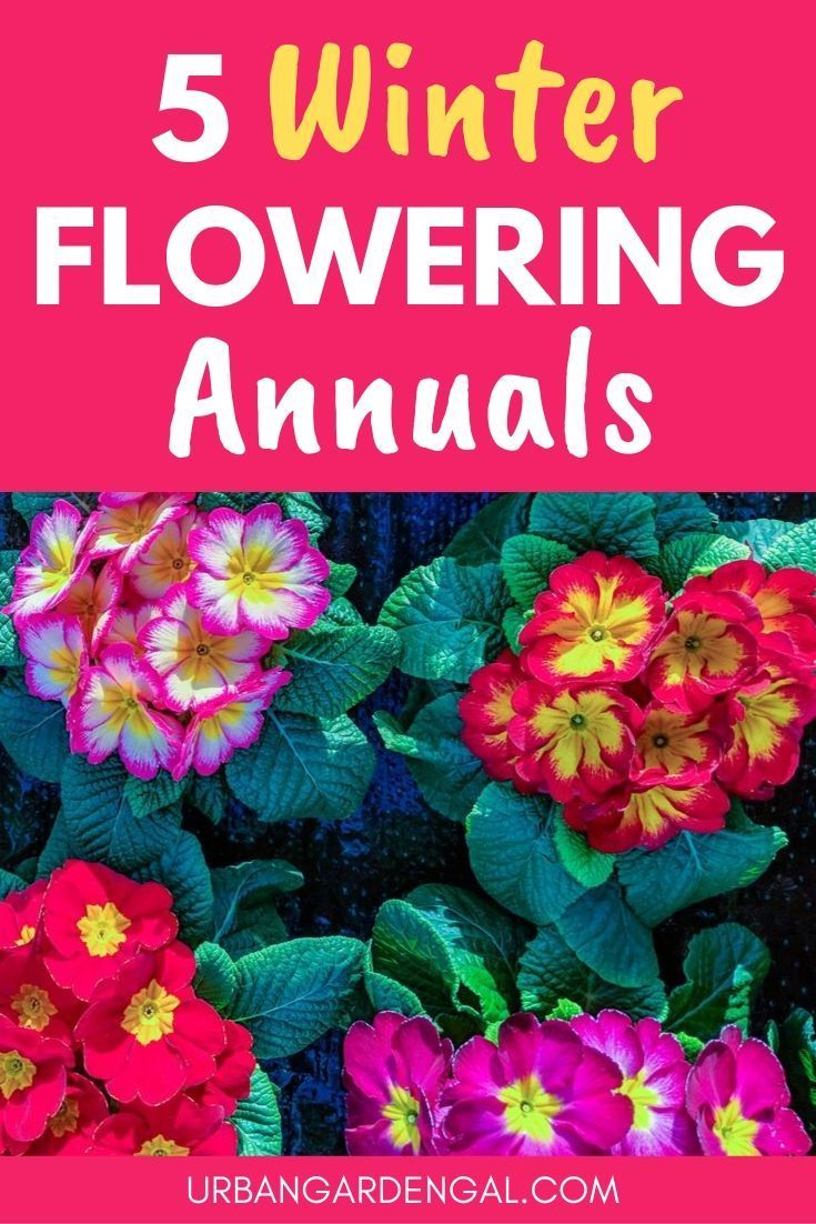 Winter Flowering Annuals Are Great For Brightening Up Your Garden Or Yard During The Winter Months In This Winter Flowers Garden Winter Flowers Winter Plants