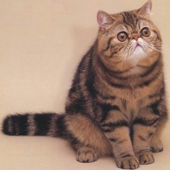 Want want want!!! So cute exotic shorthair