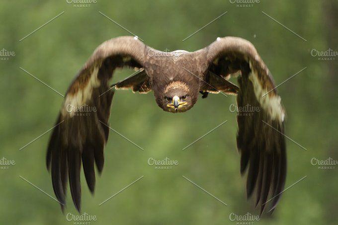 Golden Eagle (Aquila chrysaetos) by dirkr on @creativemarket