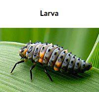 Ladybug Larva, don't kill these.