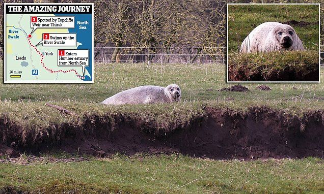 Bull seal spotted in the Yorkshire Dales 50 miles from nearest coast