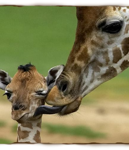 Giraffe Facts & Photos - Live Science