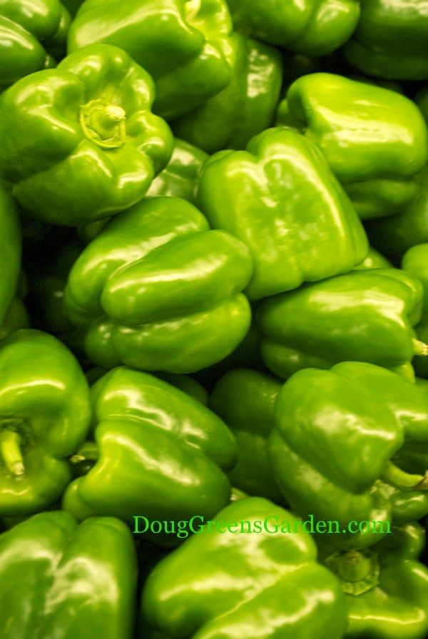 The Secrets To Growing Green Peppers (Gives names of peppers for short growing season areas.)