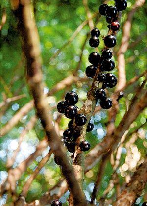 No jardim ou no vaso, aprenda a cultivar jabuticabeira em casa                                                                                                                                                                                 Mais