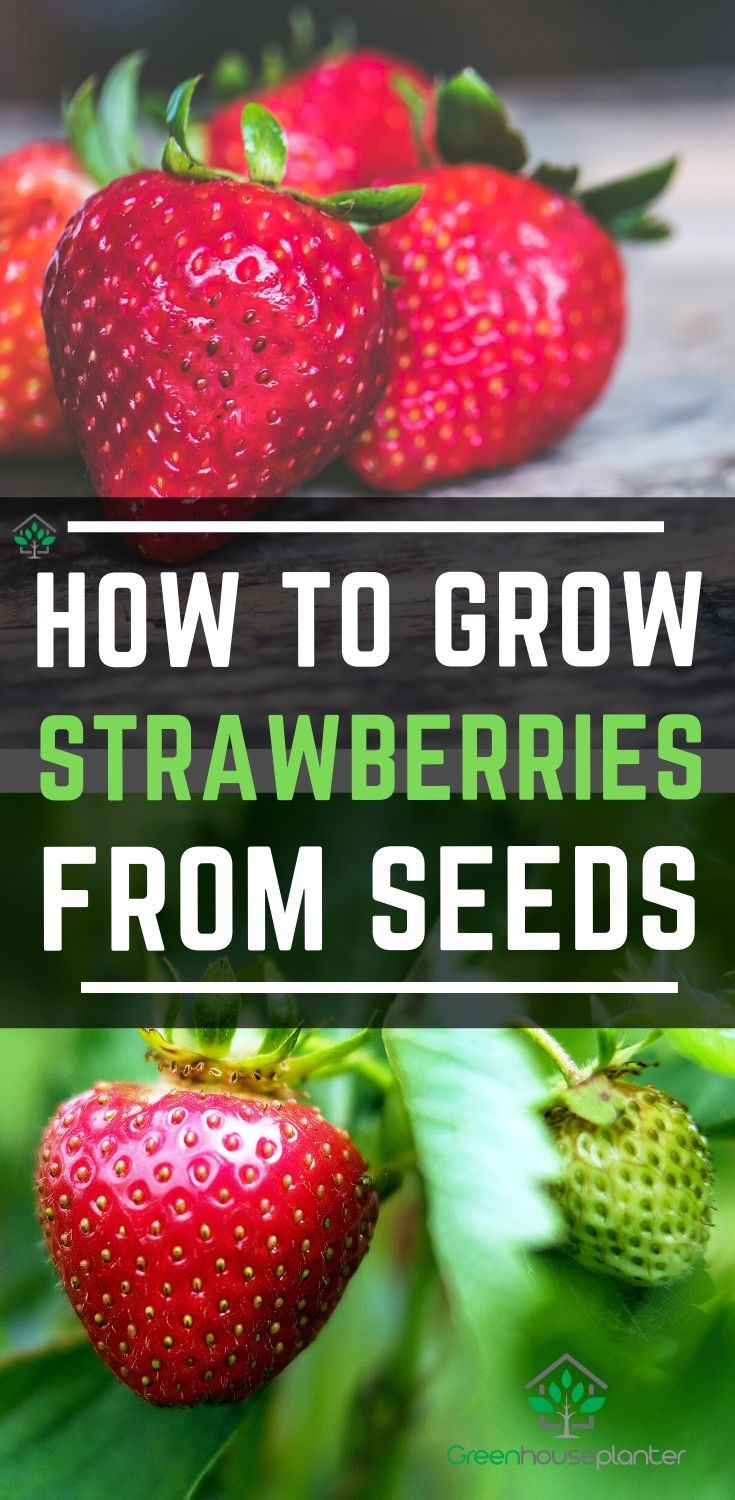 Pin On Growing Strawberries How To Grow In Strawberry