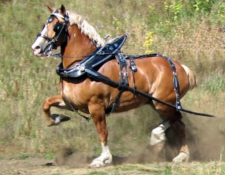 Abbey, a belgian draft horse mare. Drives in the lead of a six horse hitch.