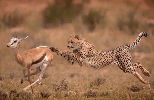 Гепард на охоте в Калахари, Кгалагади, Южная Африка по wildographer Вим Ван ден…