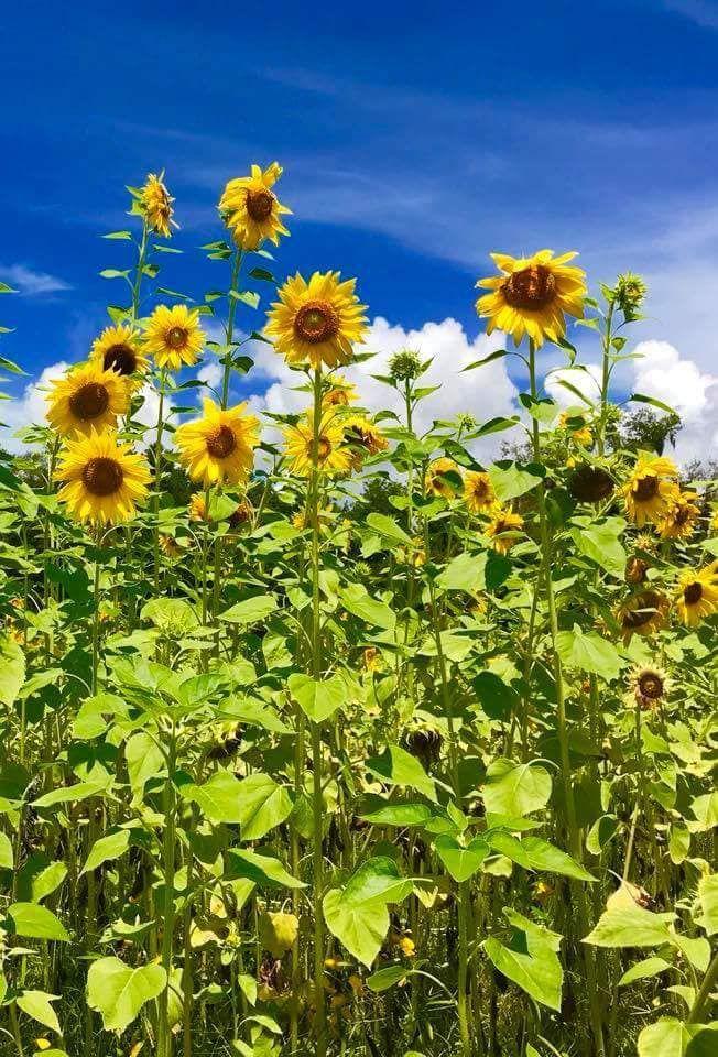 The Prettiest Sunflower Fields To Visit Across The U S Sunflower Fields Sunflower Field Near Me Sunflower Season