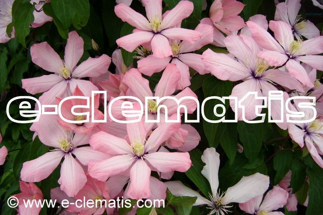 Clematis Ai-Nor