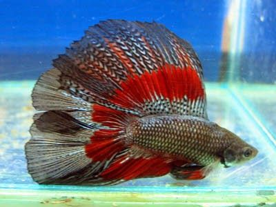 How to Have a Happy Betta Fish,betta fish abuse,fighting betta fish ,bettafish4u,betta fish competition.