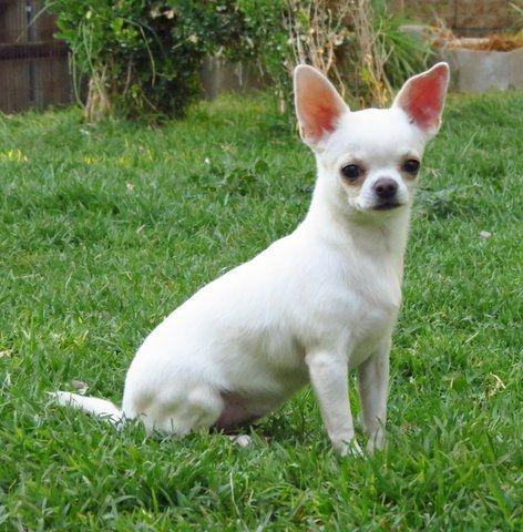 Chihuahua blanco cabeza de manzana  by Saul García Gil, via 500px