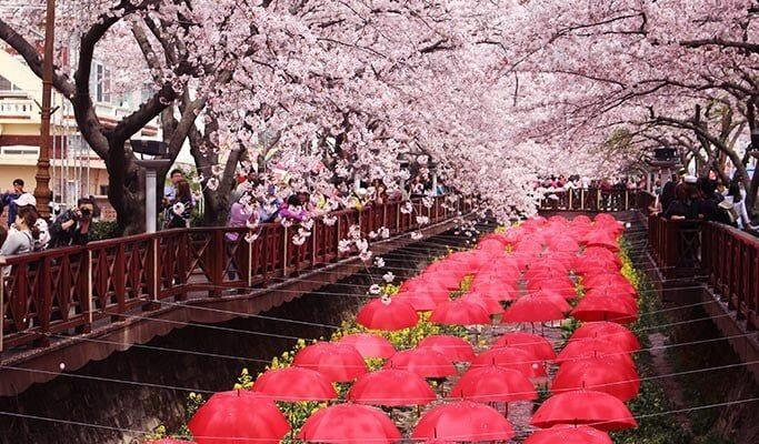 Jinhae Cherry Blossom Festival 2020 One Day Tour From Seoul Busan Daegu Cherry Blossom Festival Cherry Blossom Day Tours