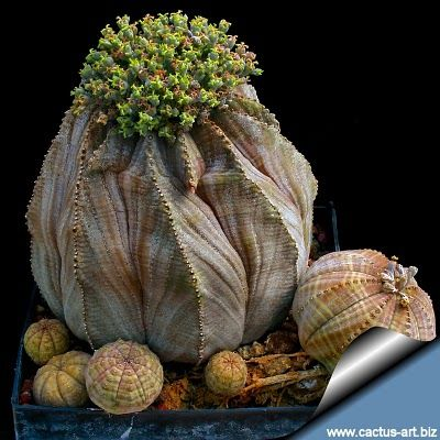 EUPHORBIA OBESA.      We have several of these plants (common name-baseball cactus), & one pot has large clusters on top of each other about 14 inches across & several in height. Won Blue Ribbon for it at Fair. Pam Firestone